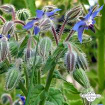 Borragine (Borago officinalis) #1