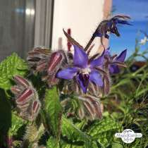 Borragine (Borago officinalis) #2