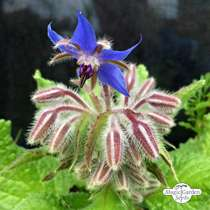 Borragine (Borago officinalis) #3