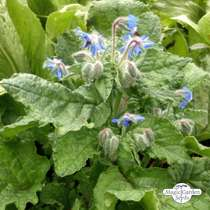 Borragine (Borago officinalis) #4