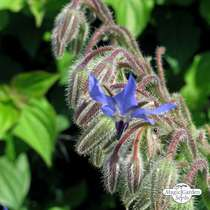 Borragine (Borago officinalis) #0