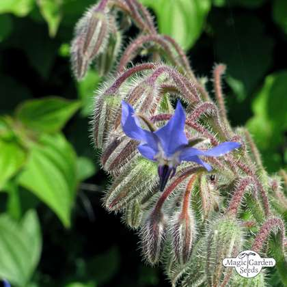 Borragine (Borago officinalis)