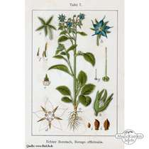 Borragine (Borago officinalis) #5