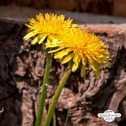Taràssaco, cicoria selvatica (Taraxacum officinale)