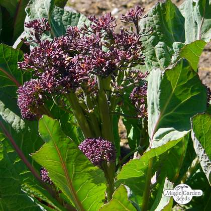 Broccolo 'Purple Sprouting' (Brassica oleracea)