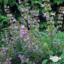 Salvia (Salvia officinalis) biologico #2