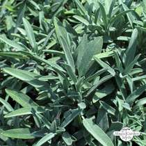 Salvia (Salvia officinalis) biologico #0