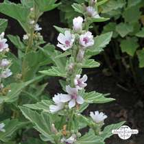 Altea comune (Althaea officinalis) Biologico #0