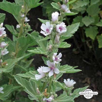 Altea comune (Althaea officinalis) Biologico