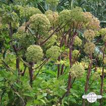 Angelica (Angelica archangelica) biologico #0