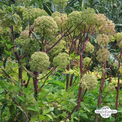Angelica (Angelica archangelica) biologico