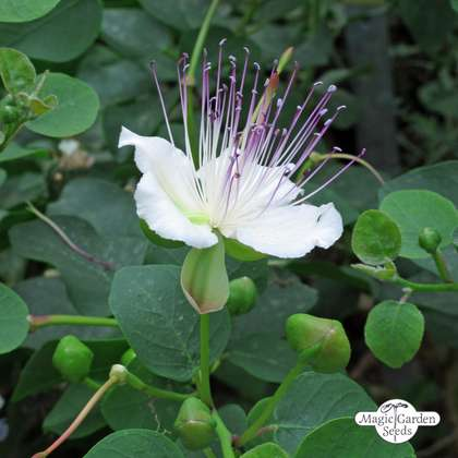 Cappero (Capparis spinosa)