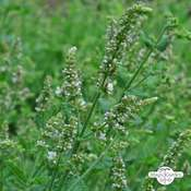 Round leaved mint, Egyptian mint (Mentha suaveolens)
