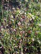 Shepherd's purse (Capsella bursa-pastoris)