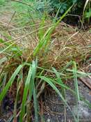 Sweet vernal grass (Anthoxanthum odoratum)