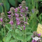 Betonica comune (Betonica officinalis) biologico