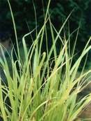 Lemon grass (Cymbopogon flexuosus)