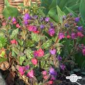 Polmonaria (Pulmonaria officinalis) biologico
