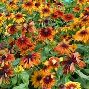 Black-eyed Susan 'Chocolate Orange' (Rudbeckia hirta) organic