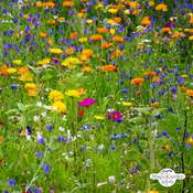 Wildflower mixture (organic) - bulk quantity (100g suitable for approx. 50m² area)