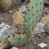 Fico d'India a spine brune (Opuntia phaeacantha) #1
