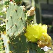 Fico d'India a spine brune (Opuntia phaeacantha)