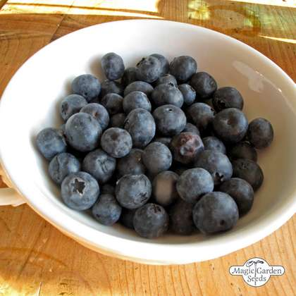 Mirtillo nero (Vaccinium myrtillus) biologico
